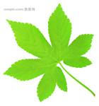 枫叶树图片素材_枫叶树图片素材免费下载_枫