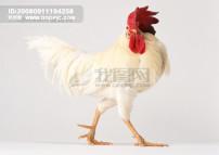 动物 展架/小动物公鸡 母鸡 小鸡